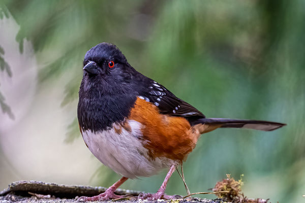 #1 Spotted Towhee...
