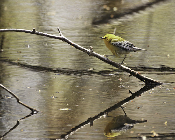 Prothonotary Warbler...