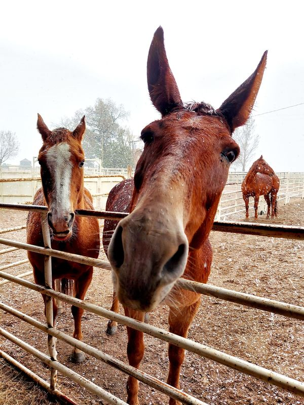 Our 2 new horses and Rufus the mule....