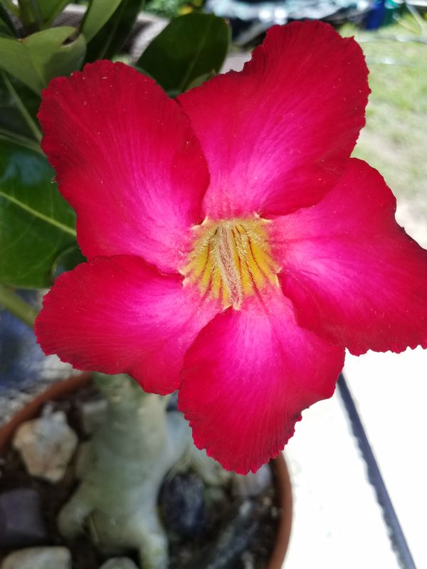 New Desert Rose bloom...