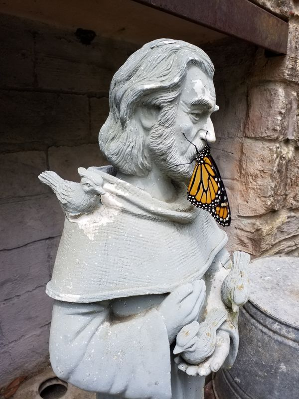 Newly hatched Monarch on St. Francis...