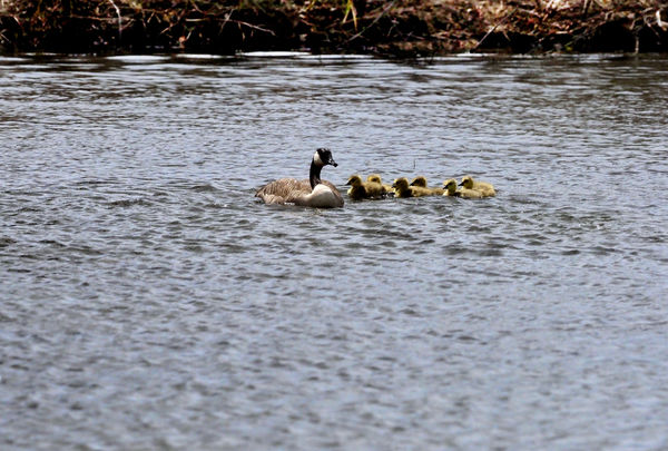 Mother (Canada) Goose and Her Goslings...