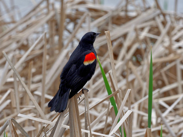 Red-winged blackbirds are territorial and when the...