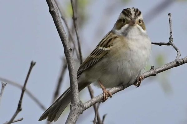 Clay colored sparrow...