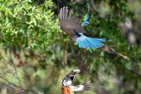 Mexican Jay & Acorn Woodpecker fighting over a fee...