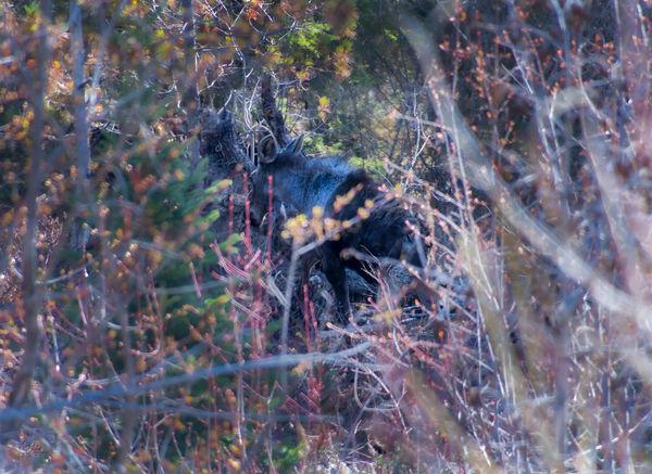 Calf moose in the brush...