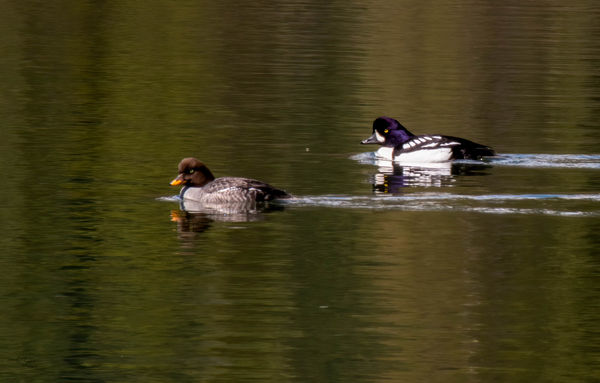 Not sure what type of ducks these are but the whit...