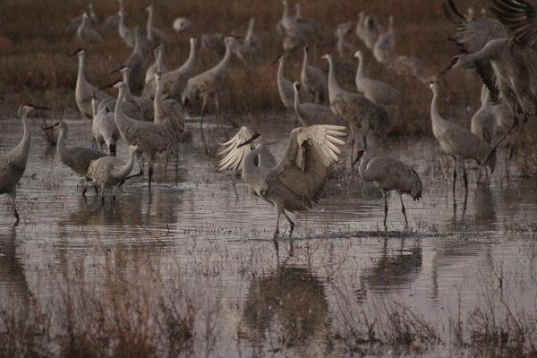 sandhill cranes...