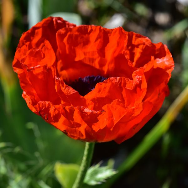 The first Poppy...