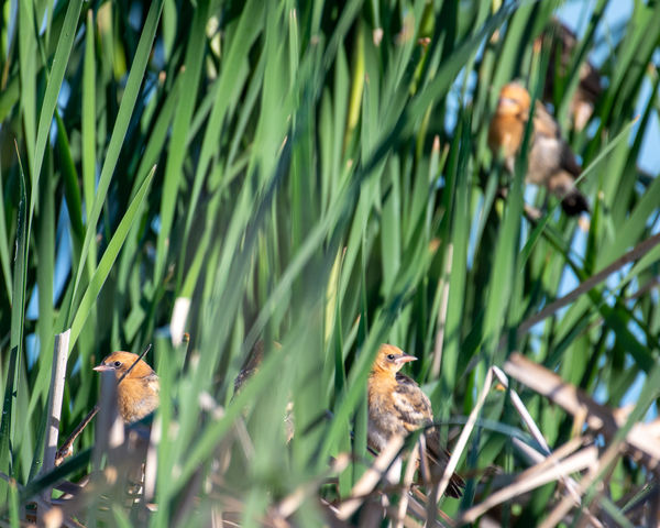 There are 5 young yellow-headed blackbirds in this...