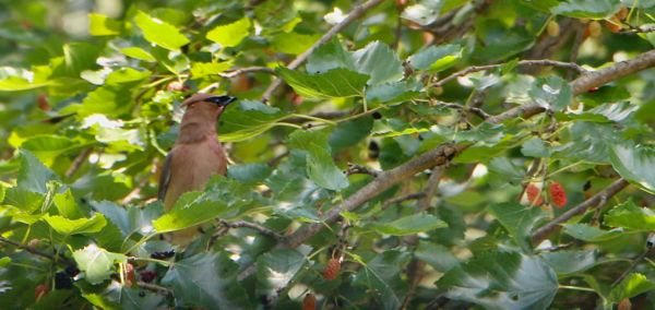 Cedar Waxwings are back to visit us!  Tough bird t...