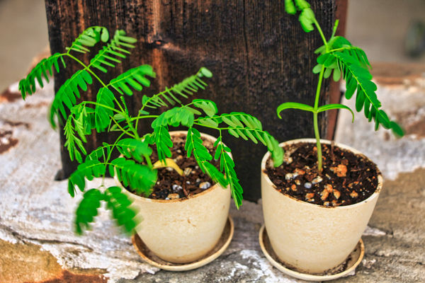 Two Tiny Bonsai Flame Trees My Daughter started fr...