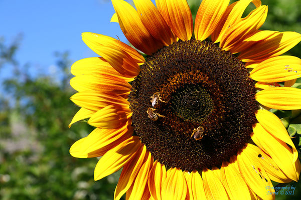Sunflower with Blue Skies and some Bees at work...