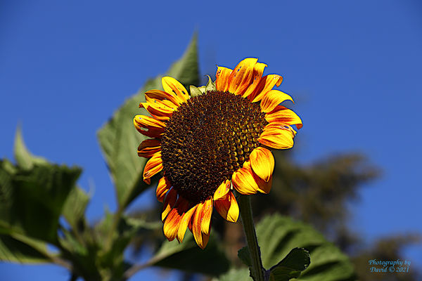 Sunflower basking in the warmth of the Summer Sun...