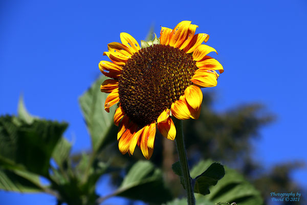 Sunflower and Bright Blue Sky...