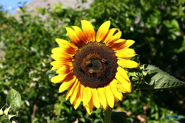 Sunflower with Bees...