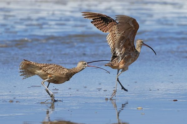 Long billed curlew having a bit of a row with anot...
