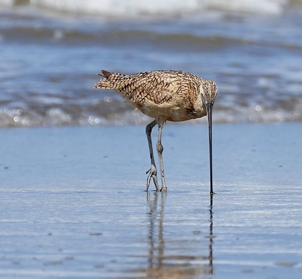 Catching sand crabs with its very long beak...