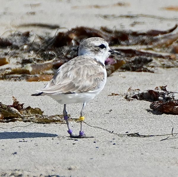 Snowy plover chick (banded), part of a program to ...