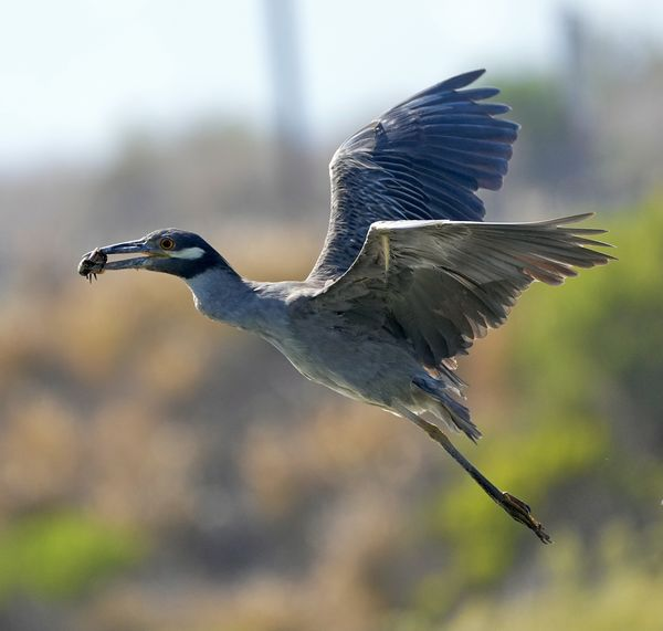 Flying yellow crowned night heron, with prized cra...