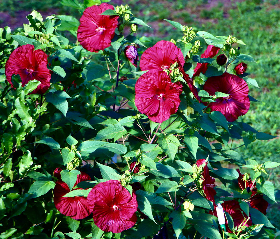 Hibiscus plant -huge blossoms in my back yard!...