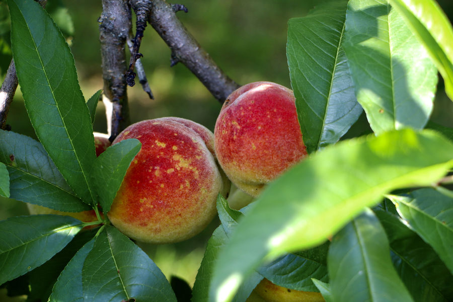 Peach tree doing it's thing!  Also back yard!...
