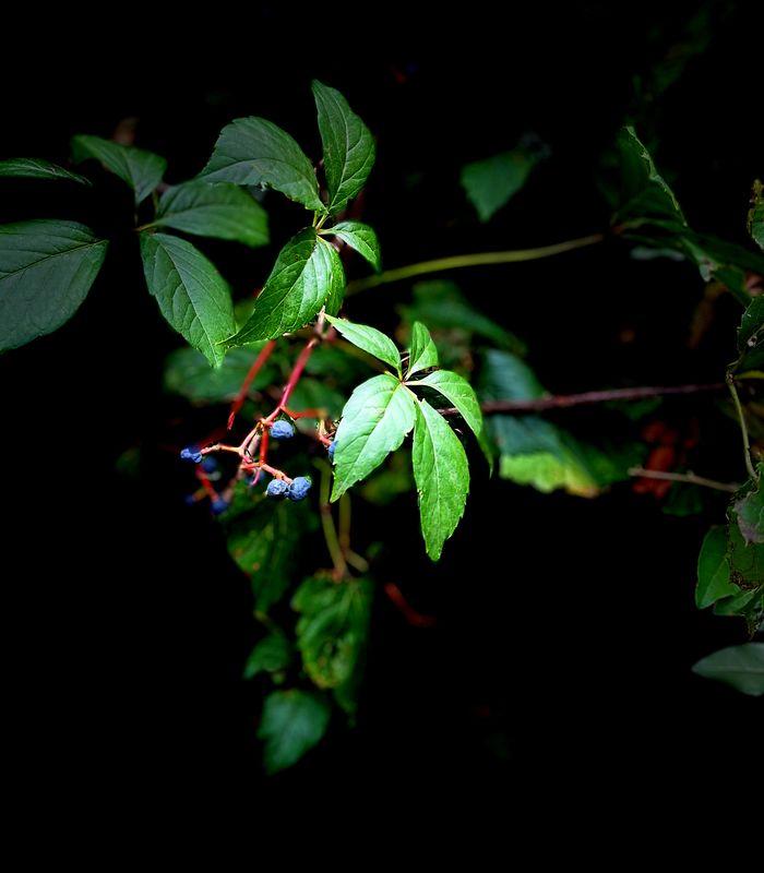 Poison Oak....