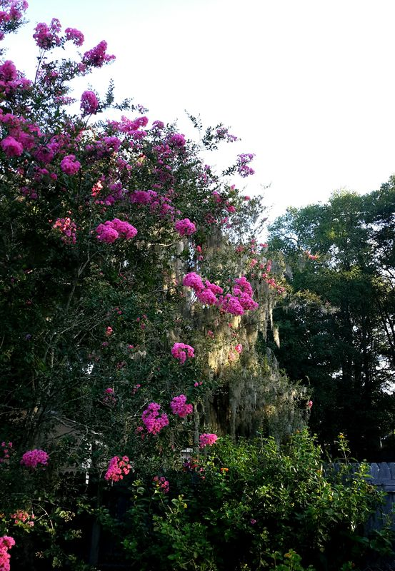 Crepe Myrtle with Spanish moss in golden light....