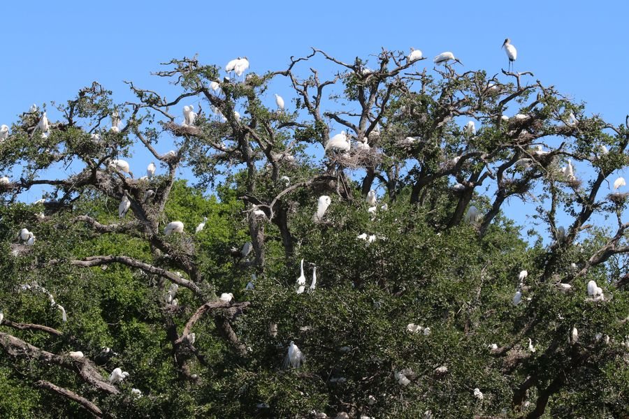 Nesting birds fill these trees here in Florida....