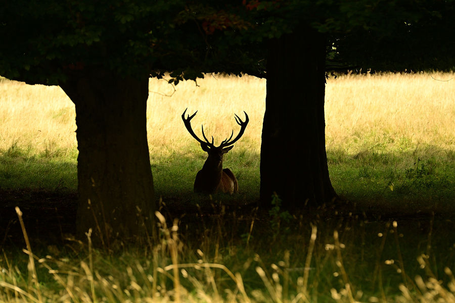 Large stag silhouetted...