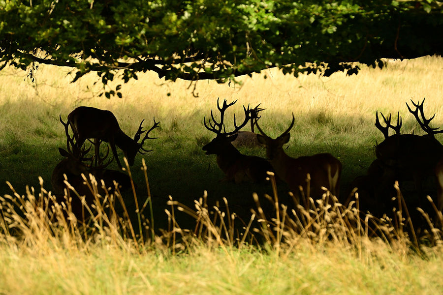 Group of stags in shadow under a tree...