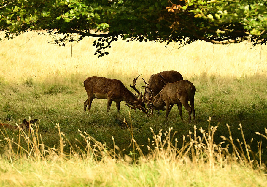 3 stags fighting...