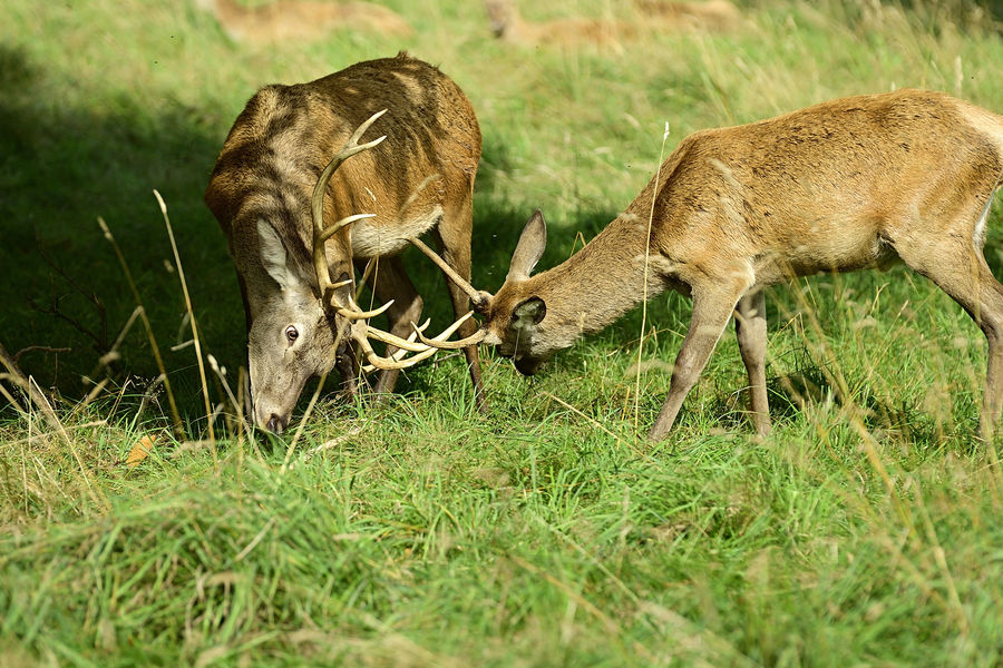 2 stags close fighting...