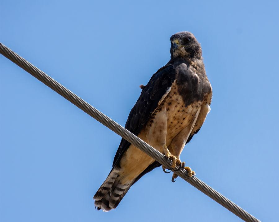 Swainson's Hawk...