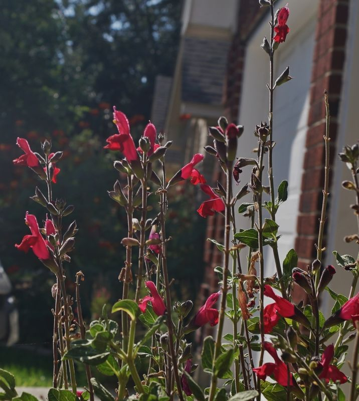 So what's a salvia plant got to do with …...